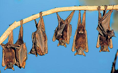 Bats hanging from a tree—now upside down